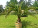 Mietpflanze - Palme