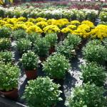 Chrysanthemen - Pflanzen im Herbst