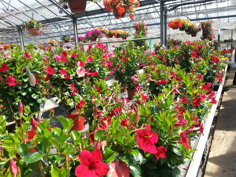 Balkonpflanzen Gartnerei Schanbacher