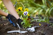 Person, die Stiefmütterchen einpflanzt - Grabpflege über die Ferien