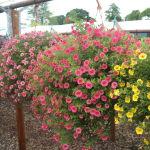 Petunienampeln - Petunien Blumenampel