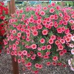 Blumenampel Petunie